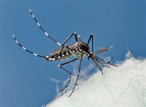 Zika Syari chikungunya mosquito virus getting more attention in the u s 183 guardian liberty voice