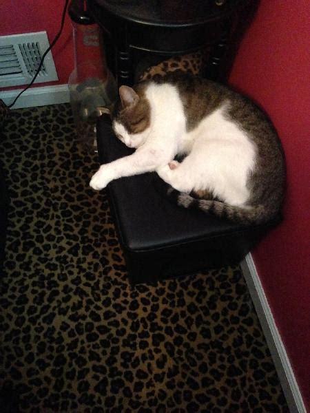 lost large white  gray cat michigan humane society