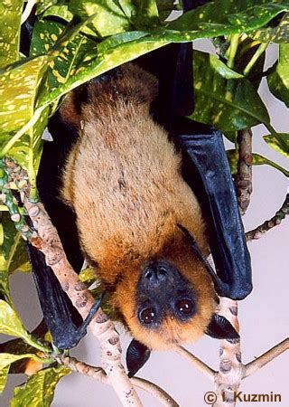 volpe volante pteropus giganteus indian flying fox