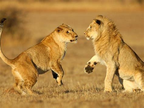 imagenes de leones gratis una pareja de leones hd 1024x768 imagenes wallpapers