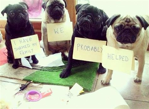 pugs their owners hilarious these 17 ill behaved pugs just got shamed by their owners
