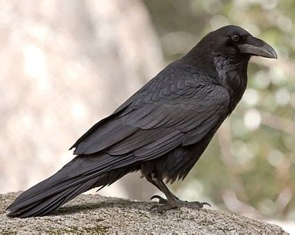 american crow identification all about birds cornell