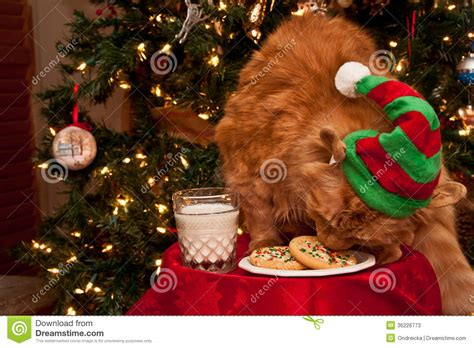 dog will only eat out of my hand cat eating santas cookies stock photos image 36226773