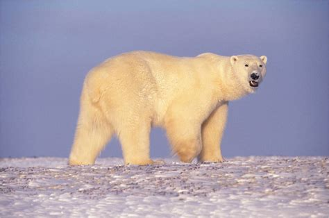 polar fur color deceptive coloration natureworks