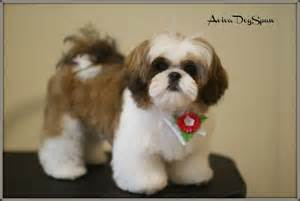 best haircut for shitzuh dog shih tzu puppy haircuts cats and dogs picture