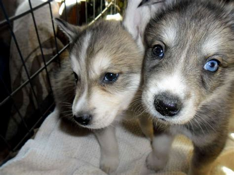 husky wolf mix puppies huskies wolf mix common information and pictures