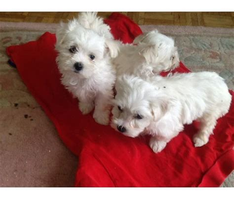 teacup maltese puppies for adoption teacup maltese puppies for adoption