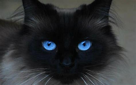 Cat Eye Blue Berkualitas beautiful blue cats wallpapers hd for desktop hd