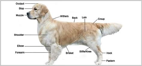 golden retriever breed golden retriever breed standard appearance coat etc