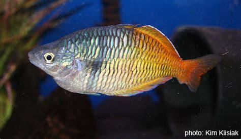 Pakan Udang Rebon pendederan rainbow fish zona ik n