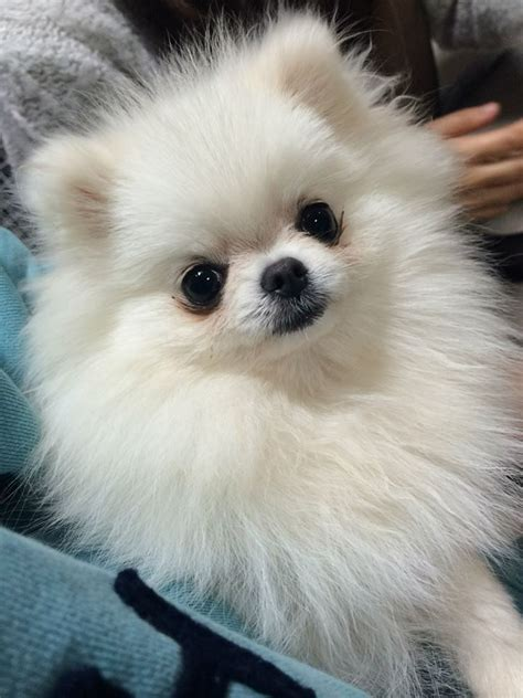 how much are white pomeranian puppies 1000 images about white pomeranian puppy on white pomeranian