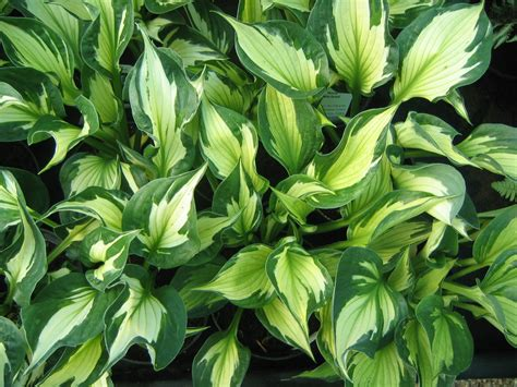 dr dan s garden tips handsome hostas