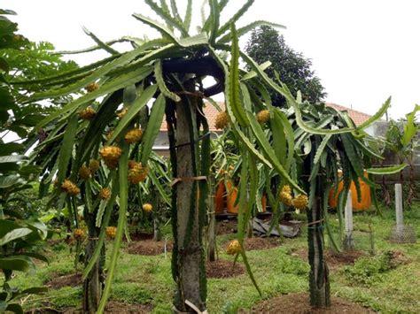 Bibit Buah Naga Kuning Jumbo tanaman buah sawo mentimun buah jumbo3 daftar harga