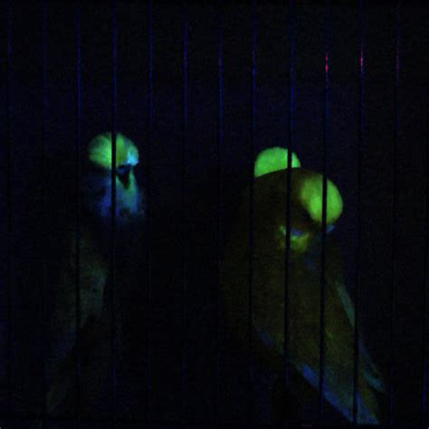 glow in the paint explained don burkes glow in the budgie