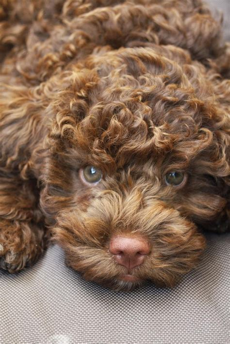 lagotto romagnolo puppies 25 best ideas about lagotto romagnolo on australian labradoodle mini