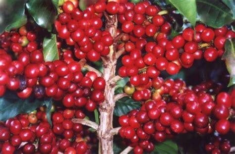 pohon kopi depulper or despupador is not in wikipedia org