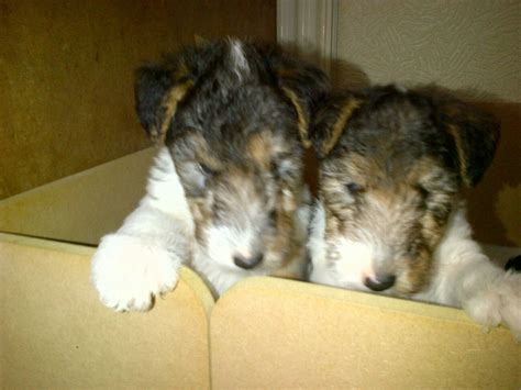 wire fox terrier puppies for sale wire fox terrier puppies for sale by best breeders design bild