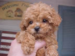 Miniature Poodle Gallery Brown Mini Poodle Puppies