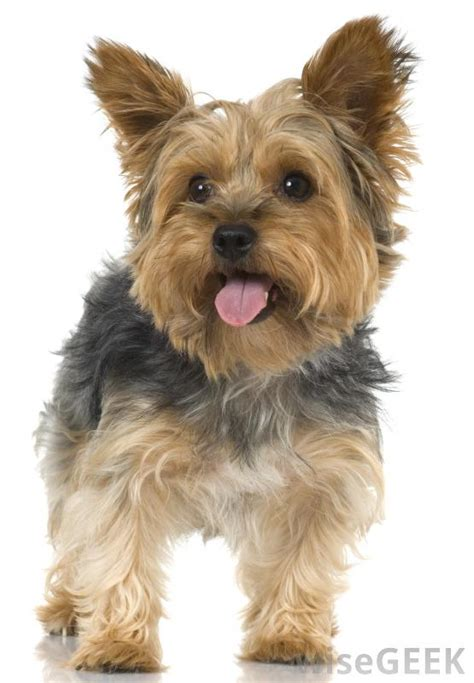 how to clip a yorkie terrier puppy