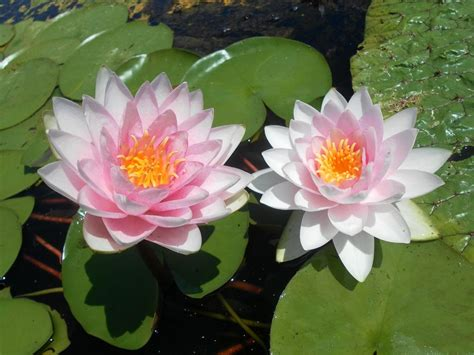 fiori ninfee ninfee barbagli fiore rosa
