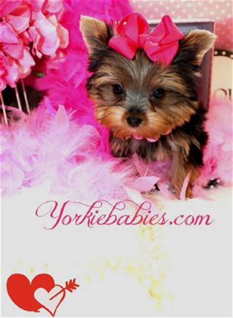 yorkie puppies for sale new jersey tiny teacup terrier puppies for sale dogs in our photo