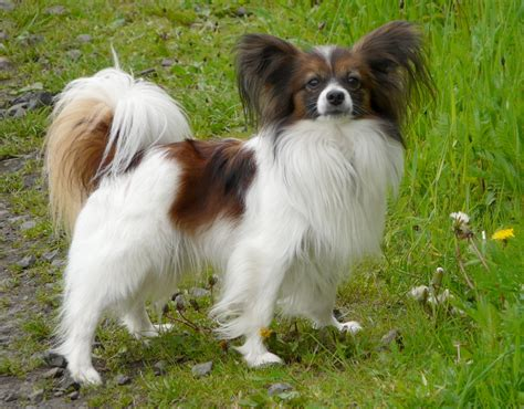 papillon dogs papillon breed tiny petmania