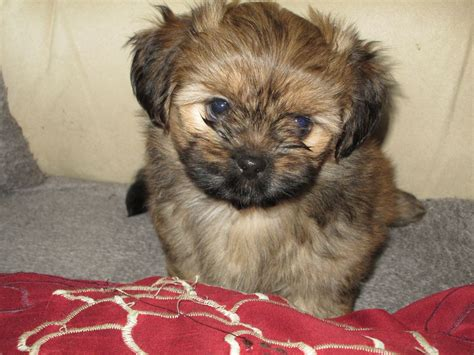 papillon cross shih tzu shih tzu cross papillon puppies swindon wiltshire pets4homes