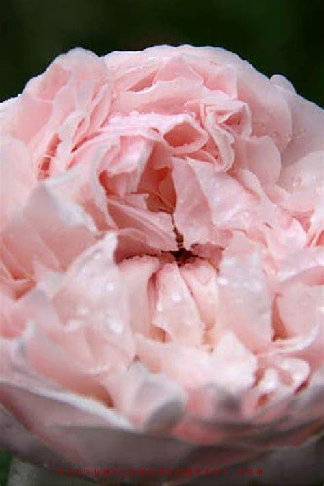premium scented garden rose peony pink