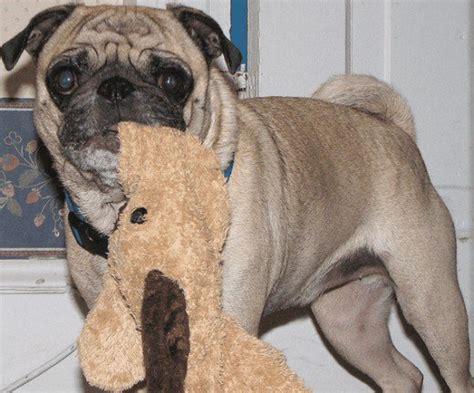 phantom pregnancy in dogs understanding false pregnancy in dogs pethelpful