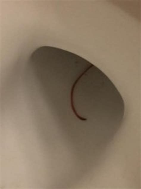 thin red worms in bathroom thin red worm might be a bloodworm or earthworm all