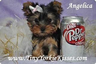 tiny yorkie kisses reviews tiny yorkie kisses vacaville ca 95688 707 720 9042 breeders