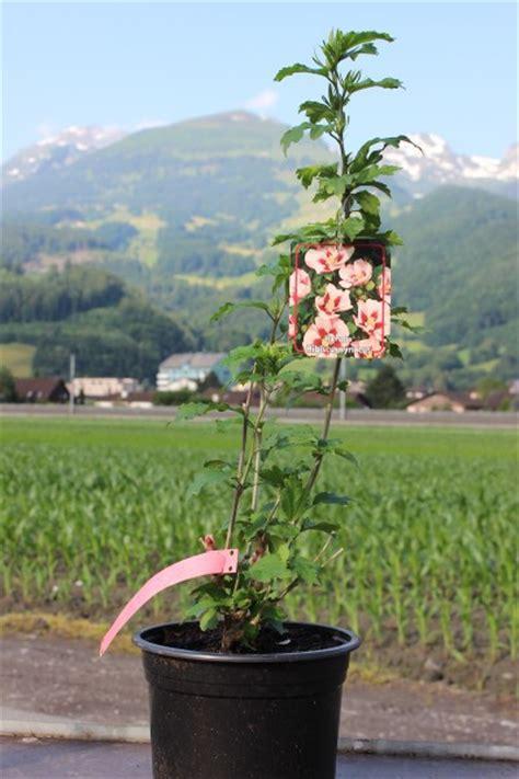 late flowering shrubs uk of flowering shrubs late summer blooming