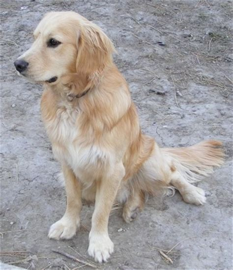 golden retriever puppies that stay small golden retriever breed that stays small dogs in our