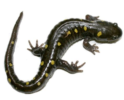 what do salamanders eat? untamed science