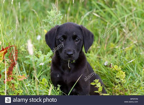 9 week puppy 9 week labrador puppy stock photo royalty free image 31058376 alamy