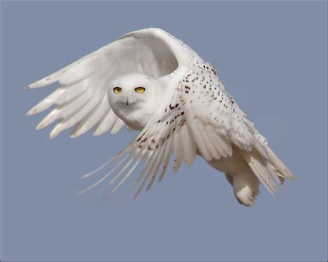 snowy owls travel southward in search of food several
