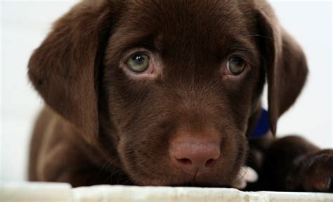 chocolate lab chocolate lab puppy by buddenbohn on deviantart