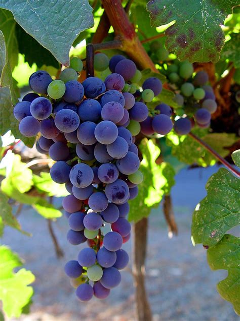 imagenes de uva malbec grape vines malbec picture of wine grapes and leaves