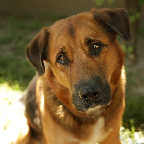 rottweiler and shepherd mix pitbull and german shepherd chow mix breeds picture