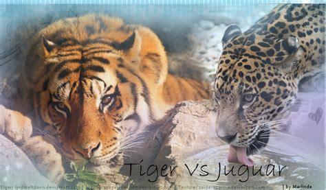 tiger vs jaguar by marlinderooz on deviantart