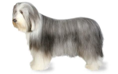 Bearded Collie Dog Breed Information, Pictures