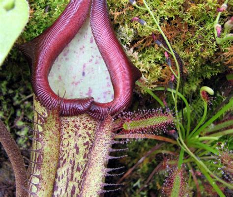 best carnivorous plants sticky liquid in carnivorous plant could be organic fungus