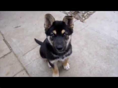 pomeranian german shepherd mix grown pomeranian husky mix meets king charles spaniel funnydog tv