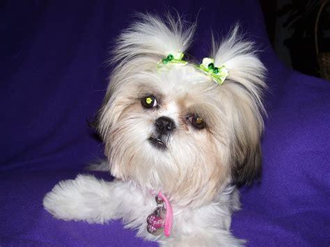 pictures of baby shih tzu puppies shih tzus breeder shih tzu puppies
