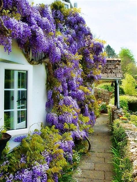 training wisteria vines to wall 118 best espalier images on pinterest gardening