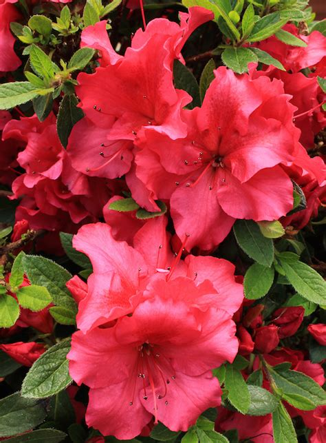 when to fertilize azaleas the home depot community