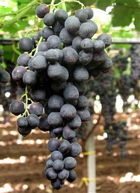 uva da tavola pugliese top fruit srl produzione lavorazione commercio
