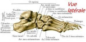le squelette et les muscles du pied podologie le havre