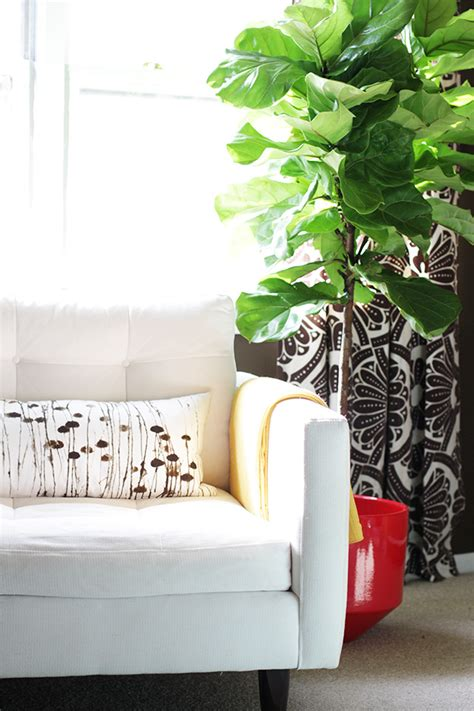 making it lovely the fiddle leaf fig tree making it lovely