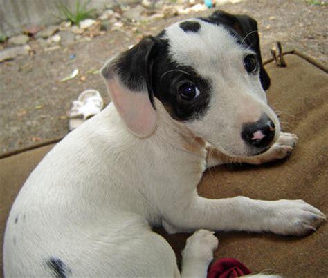 puppy spot breeder login spot the dachshund mix puppies daily puppy